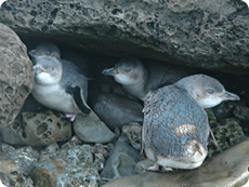 White Flippered Penguins like the ones we hoped to see, but did not. Photo found on google.